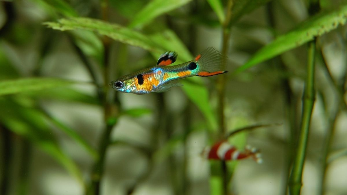 Why Do Guppies Eat Their Babies Aquarium Fish Freshwater Aquarium Fish Guppy