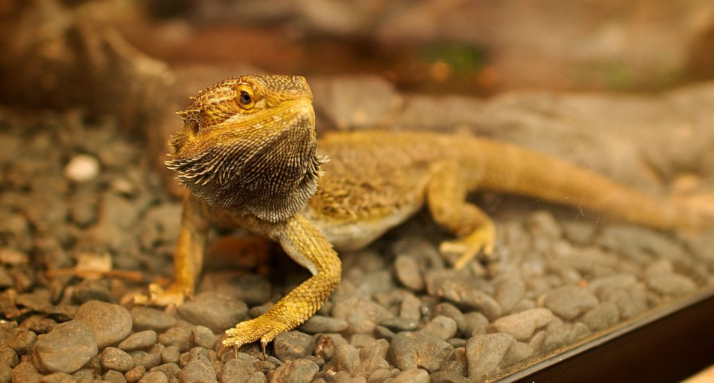 The Top 10 Foods For Your Bearded Dragon S Diet Bearded Dragon