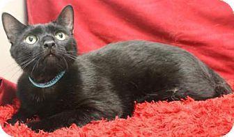 Blackwood Nj Domestic Shorthair Meet Mr Gwen A Cat For Adoption Cat Adoption Kitten Adoption Pets
