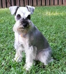 Snickers Is An Adoptable Schnauzer Dog In Raleigh Nc You Must Be A North Carolina Resident In Order To Adopt From N Schnauzer Dogs Small Dog Breeds Schnauzer