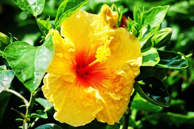 The Genus Hibiscus Contains Perennial And Tropical Species The Hibiscus Trees Are Typically Tropical Hibiscuses Hibiscus Plant Hibiscus Tree Yellow Hibiscus