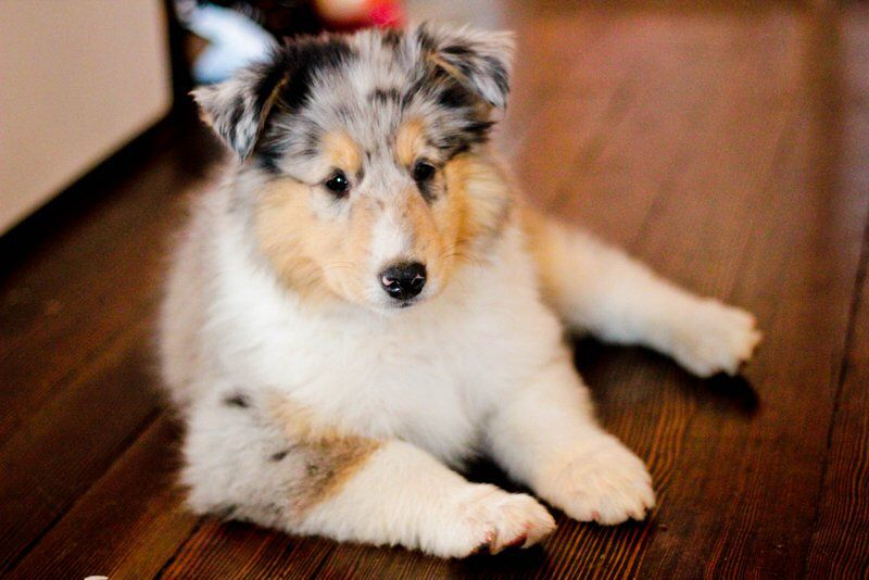 Blue Merle Rough Collie Puppy