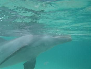 Snorkel with dolphins in Anthonys Key, Roatan