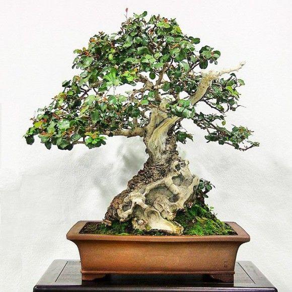 Carob-Tree-Bonsai-Rare-Seeds-580x580.jpg (580×580)