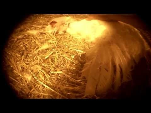COK Uncovers Cruelty & Filth at a Turkey Breeding Factory Farm - YouTube