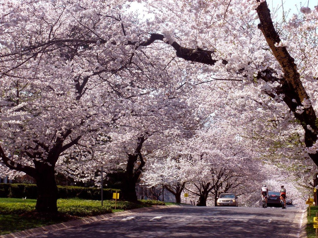 Cherry Blossoms Cherry Tree Tree Blossom