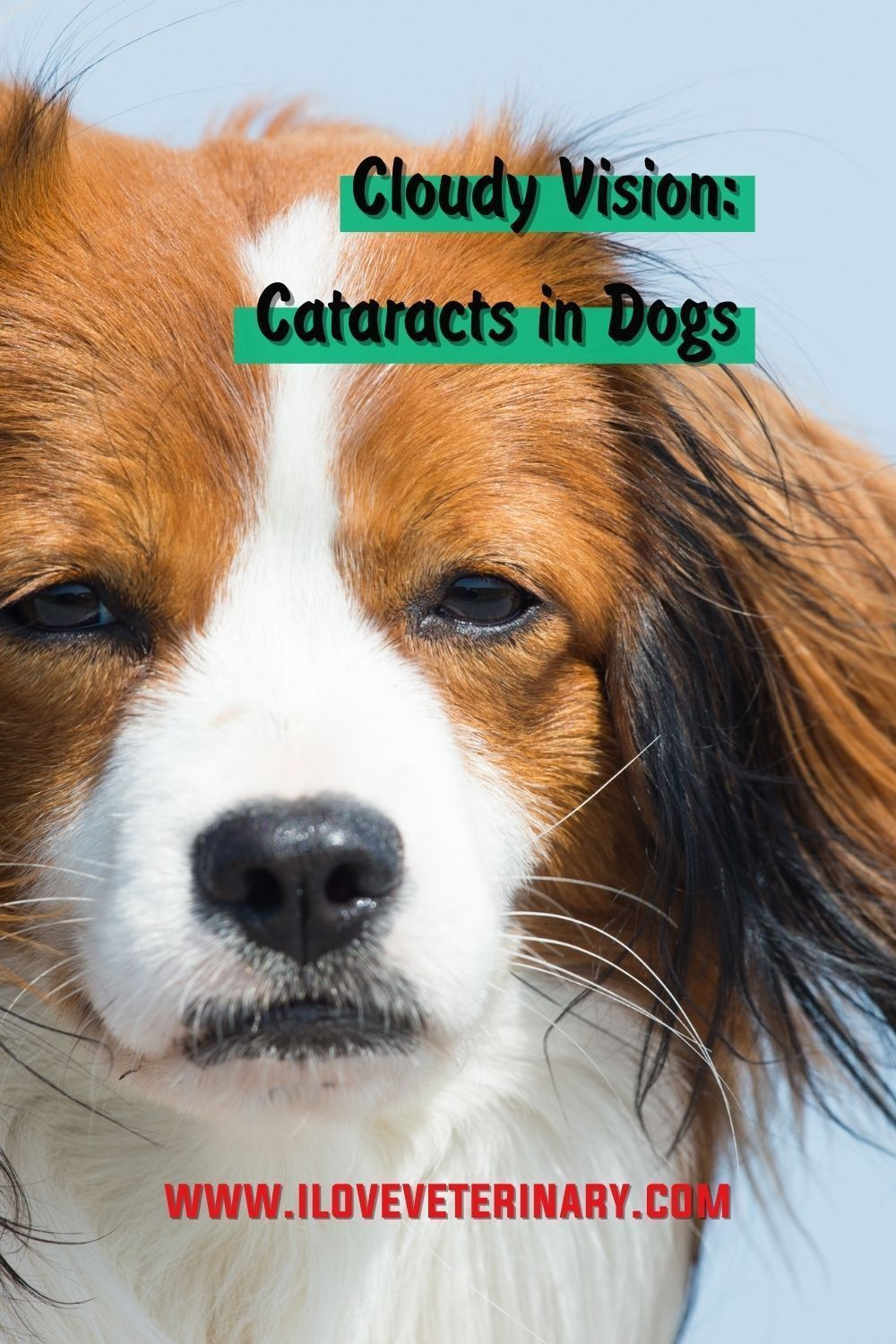 Cloudy Vision Cataracts In Dogs I Love Veterinary In 2020 Cataracts In Dogs Dogs Cataract