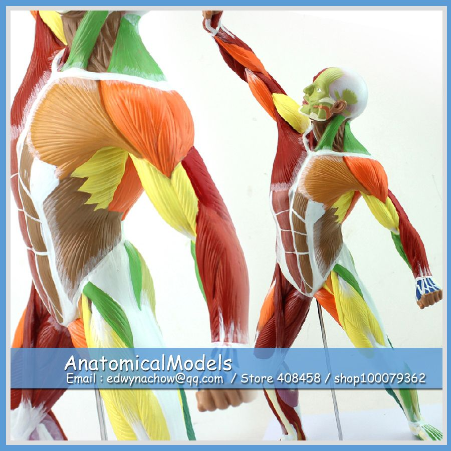 ED-MUSCLE14 Desktop Colored Human Muscle Model , Medical Science ...