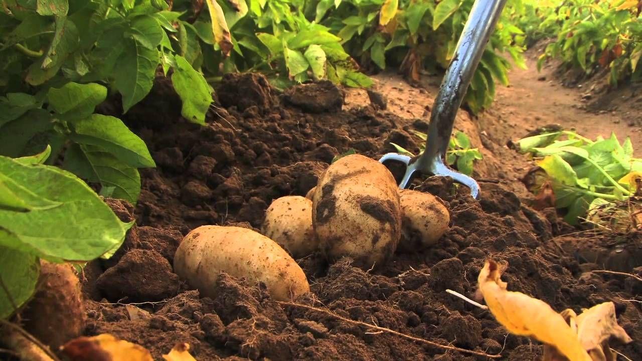 How To Start A Lucrative Potato Farming Business In Nigeria The Complete Guide Potato Gardening Backyard Vegetable Gardens Growing Potatoes Backyard farming in nigeria