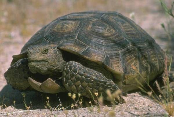 La Tortuga del Desierto (Gopherus agassizii) en las Tortugas ...