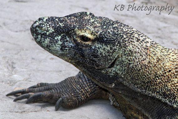 Komodo dragon picture
