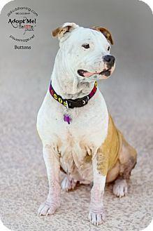 Phoenix Az Staffordshire Bull Terrier Shar Pei Mix Meet Buttons A Dog For Adoption Http Www Adoptapet C Staffordshire Bull Terrier Kitten Adoption Pets