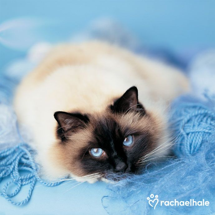 We are delighted with our home bred seal tabby Birman