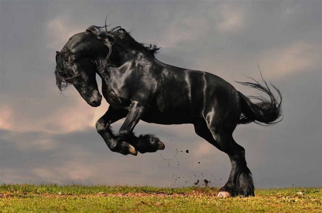Beautiful Black Friesian Horse Women/'s Tee Image by Shutterstock