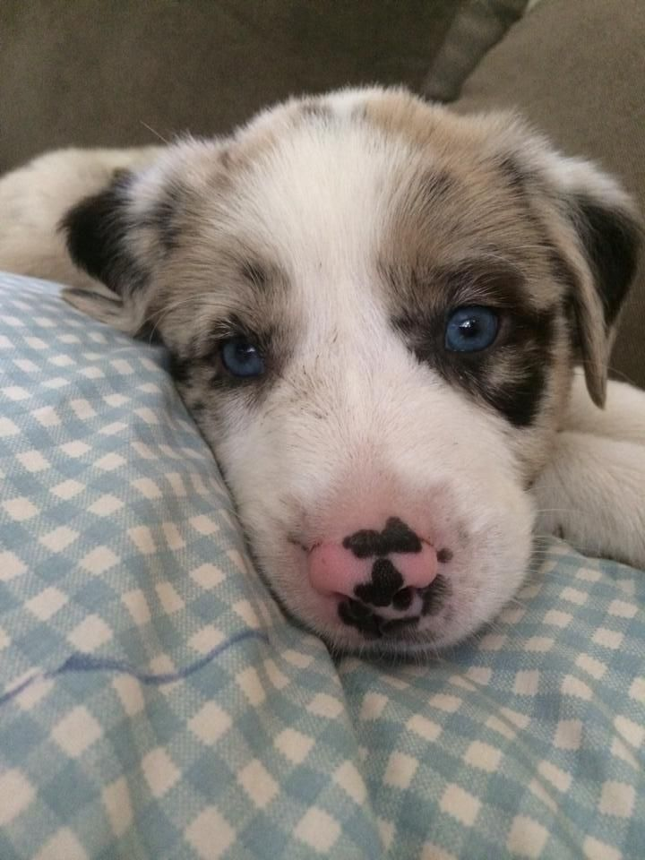 Meet Fitch A Petfinder Adoptable Australian Shepherd Dog White