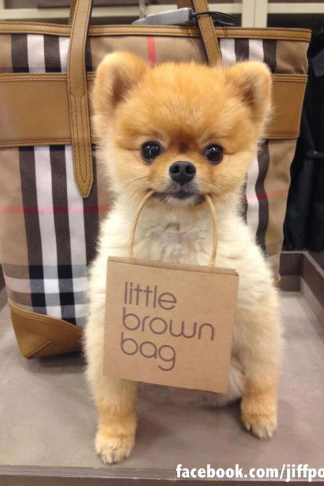 jeff the pomeranian cutest brown bag i ve ever seen jeff pom pinterest 9308