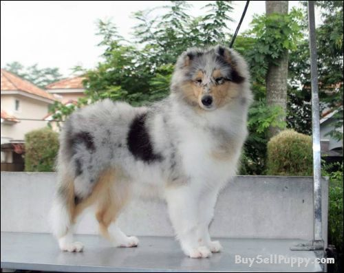 Look Mom I Brought You A Leaf Rough Collie Sheltie Puppy