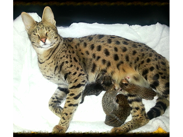 listing Good Savannah Kittens For Adoption is published on