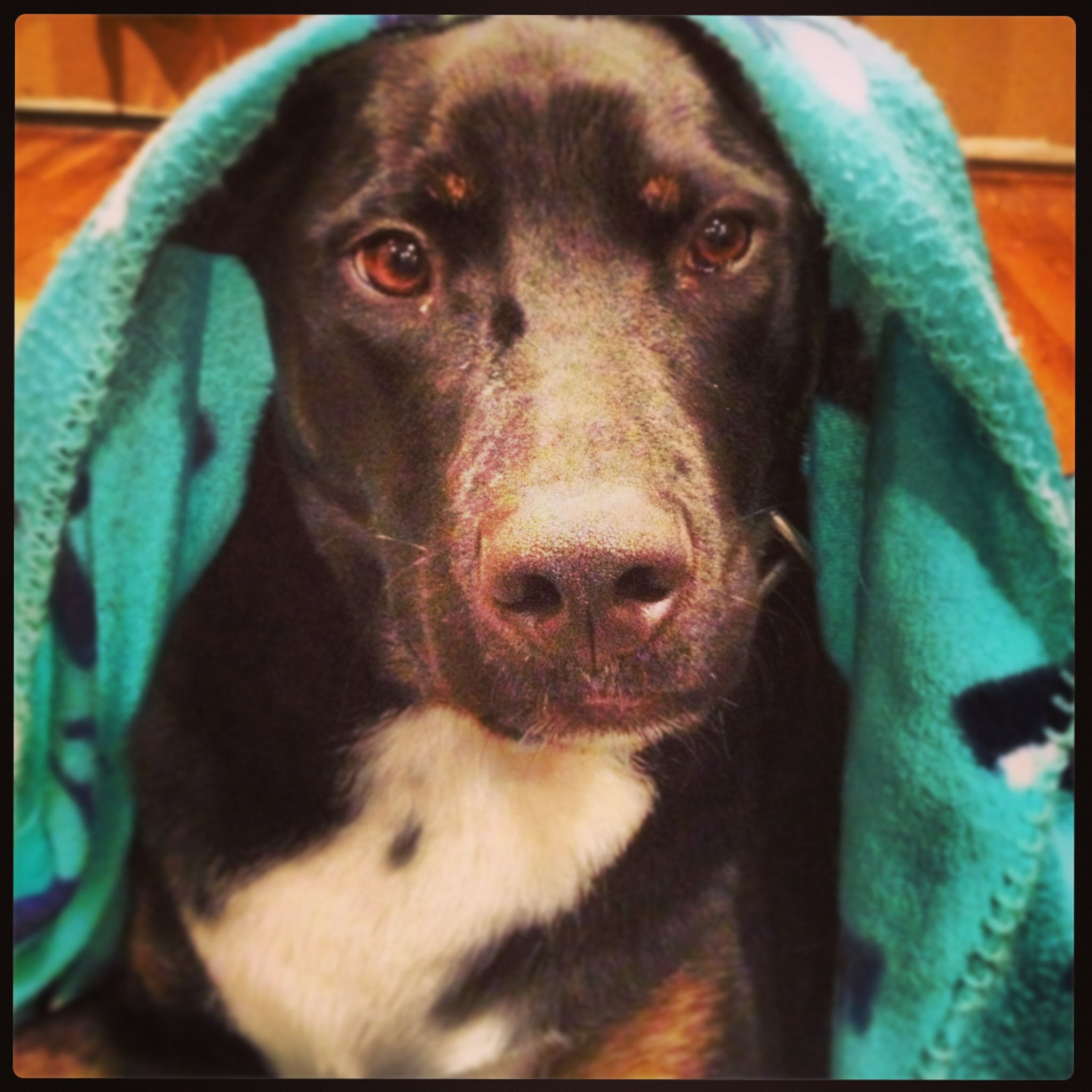 Zappa! Animal rescue, Pup, Labrador retriever