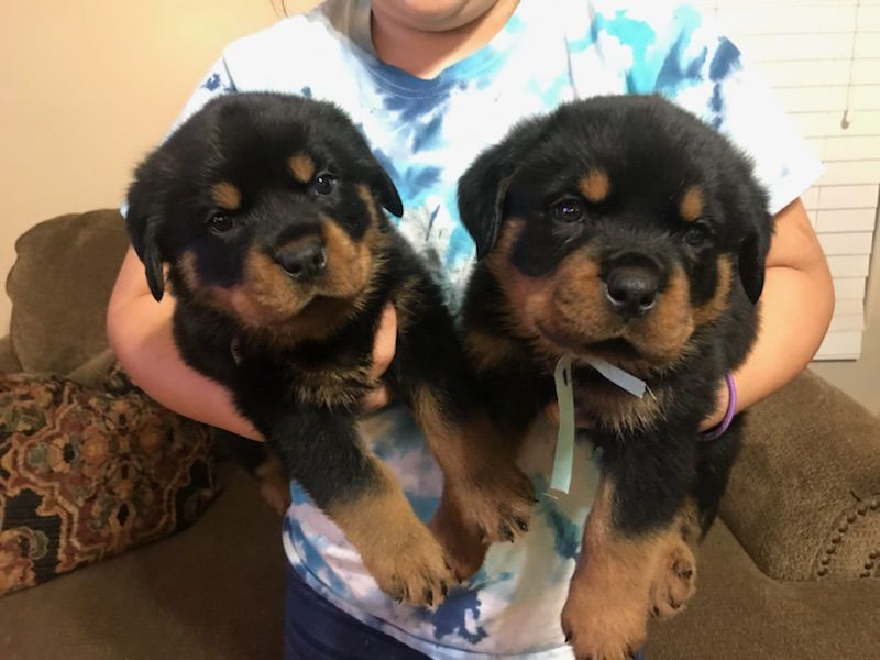 Litter Of 5 Rottweiler Puppies For Sale In Bakersfield Ca Adn