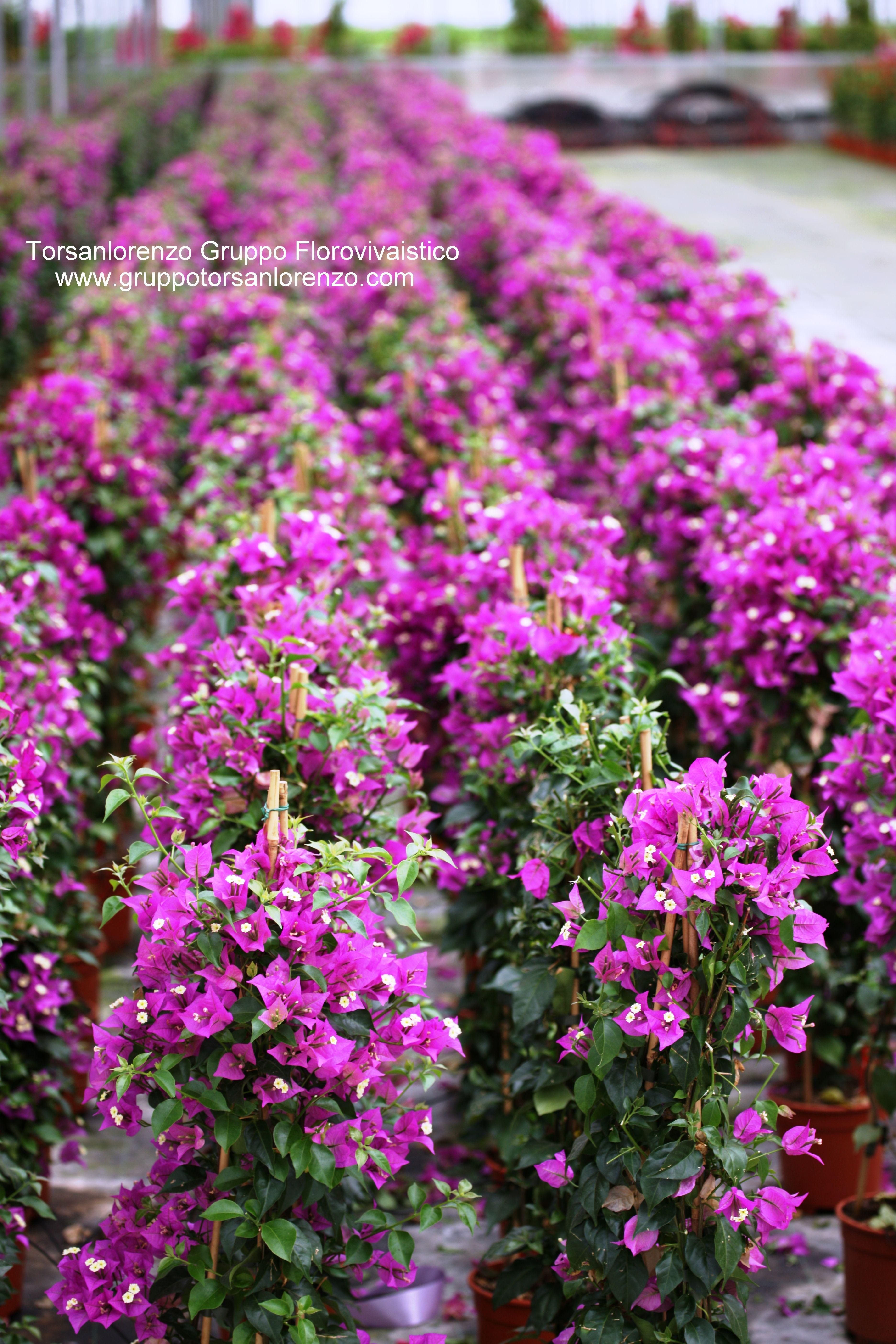 #Bougainvillea glabra sanderiana a field of #purple # ...