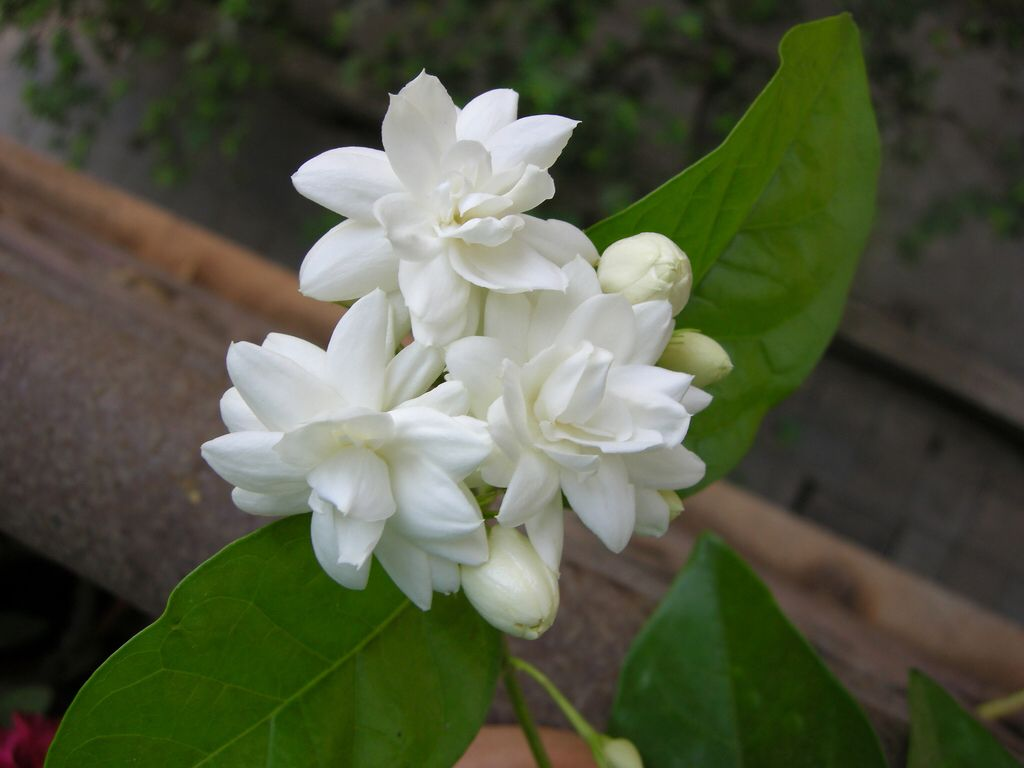 Pin by espie tuthill on diy pinterest mogra is a beautiful fragrant white flower from jasmine family royalty free stock photo pictures images and stock photography izmirmasajfo