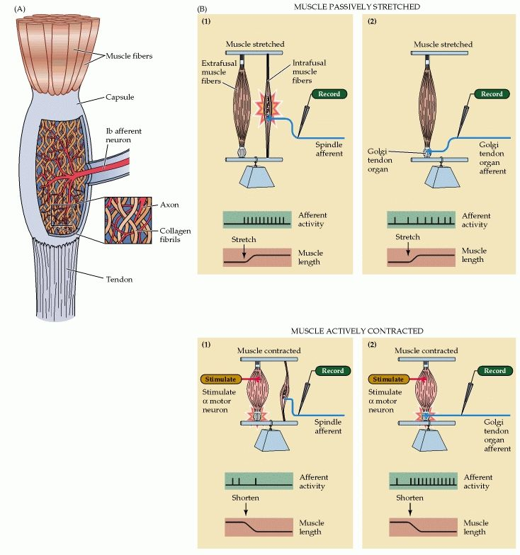 Figure 16.11. Comparison of the function of muscle spindles and ...