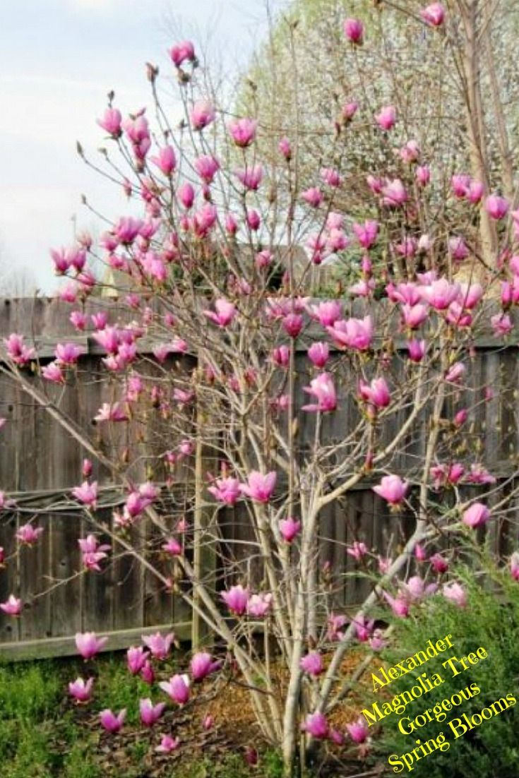 Alexander Magnolia Tree Aka Tulip Tree Easy Backyard Gardening