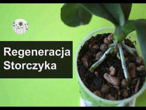 Jak Reanimowac Odzywic Storczyka Co Zrobic By Zregenerowac Korzenie Storczykow Youtube Plants Flora Garden