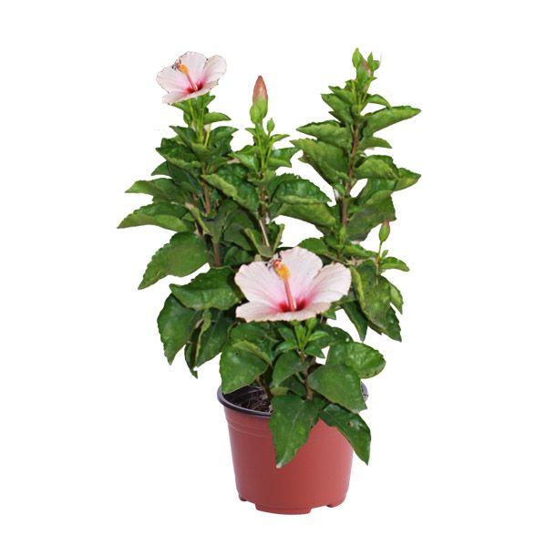 Planta tulipan mexicano 8 macetas grandes riego y macetas - Macetas de plastico grandes y baratas ...