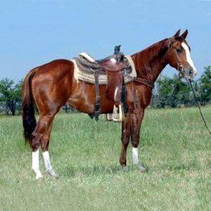 Quarter Horse American Quarter Horse Quarter Horse Horses