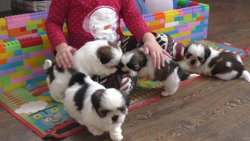 Shihtzu purebred puppies FOR SALE ADOPTION from South