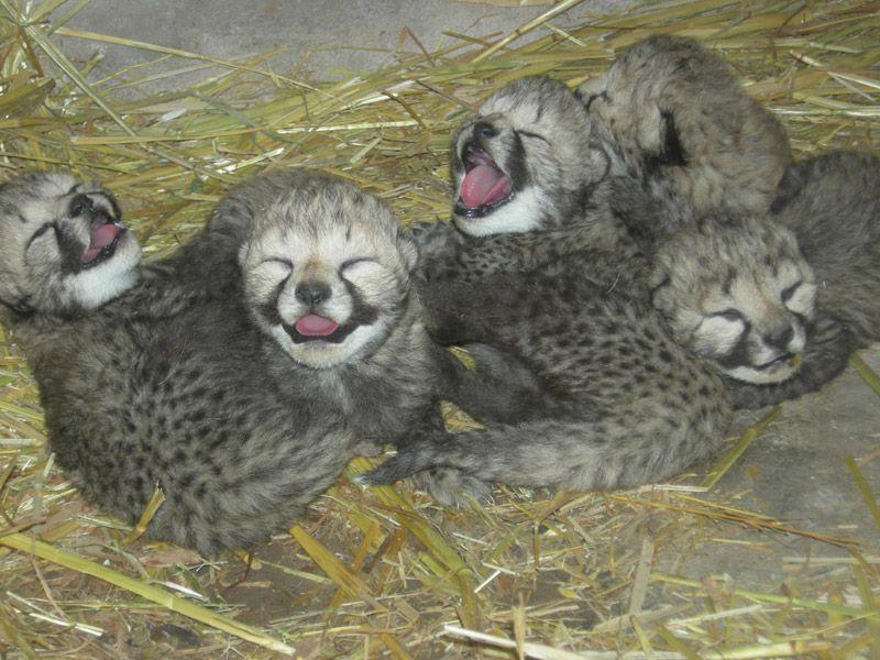 Way too adorable cheetah cubs at Cango Wildlife Ranch (http://www.cango.co.za)