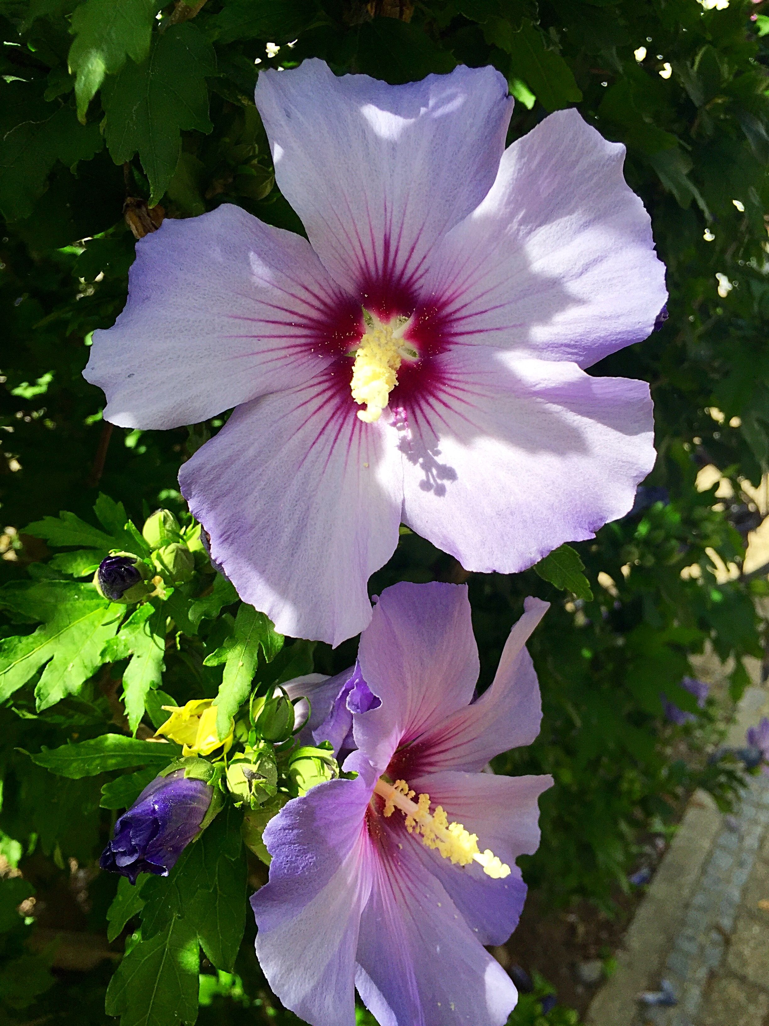 Pin By Linda Sullivan On Flowers Pinterest Flowers Hibiscus And