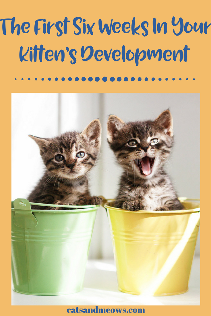 The First Six Weeks In Your Kitten S Development What To Expect Cats And Meows Kitten Cutest Kittens Ever Kittens Cutest