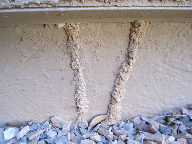 Shelter Tubes Termite Infestation Signs A Homesteader S Basic Guide Termite Infestation Termite Control Termites