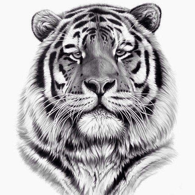 Tiger Pride Watercolour Painting Watercolor Watercolour - Stunning drawings of endangered wild animals by richard symonds