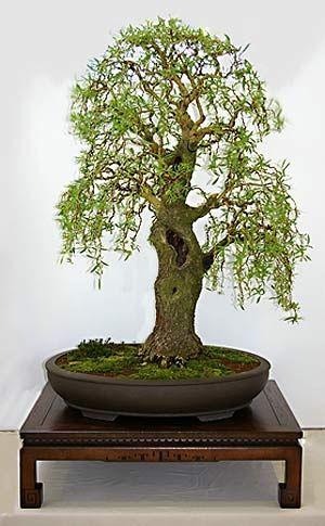 bonsai bonsai pinterest baum sinne und kleine b ume. Black Bedroom Furniture Sets. Home Design Ideas