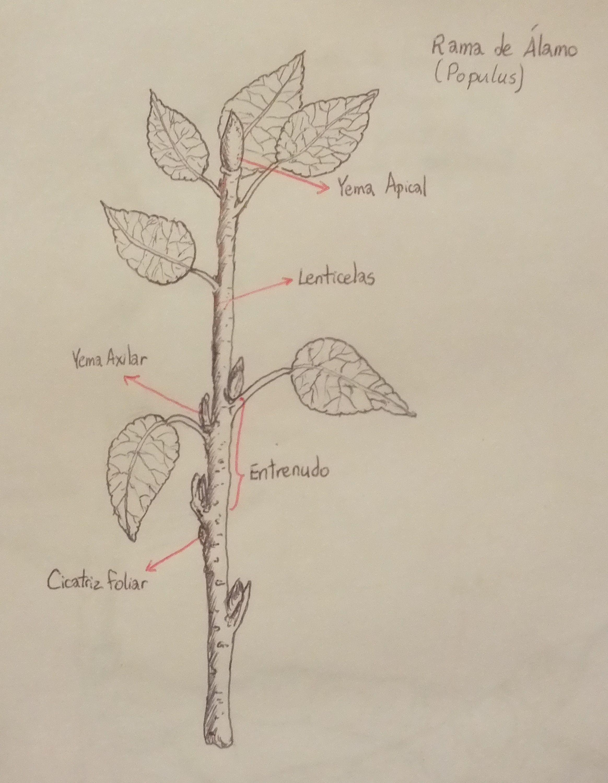 Populus sp.