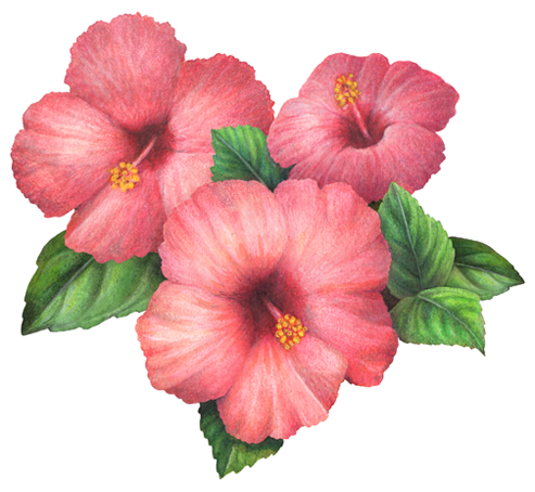 Illustration Of Three Hibiscus Flowers In 2020 Hibiscus Flower Drawing Hawaii Flowers Drawing Watercolor Flower Background