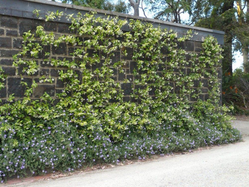 Star Jasmine To Cover The Retaining Wall Garden