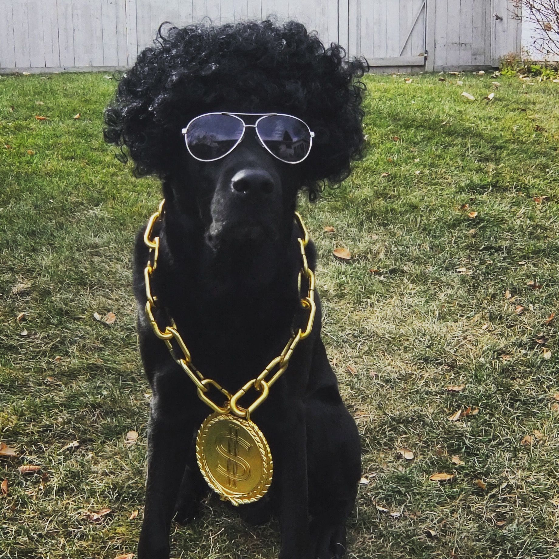 Dog Halloween costume. Rapper. Mix tape. Money chain. Cute