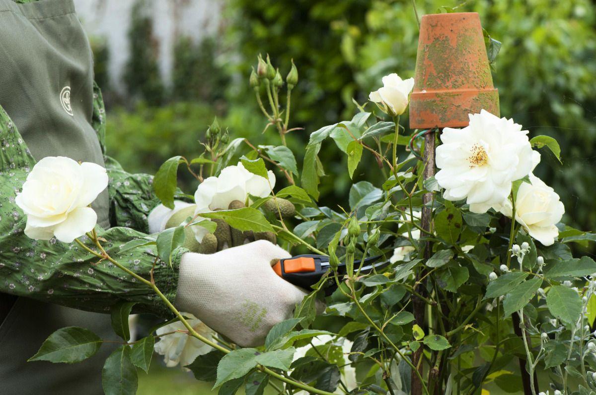 Comment faire refleurir un rosier en le taillant Rosier