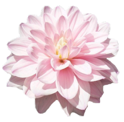 An Entry From Transparent Flowers Powered By Tumblr Com Dahlia Flower Light Pink Flowers Wholesale Flowers