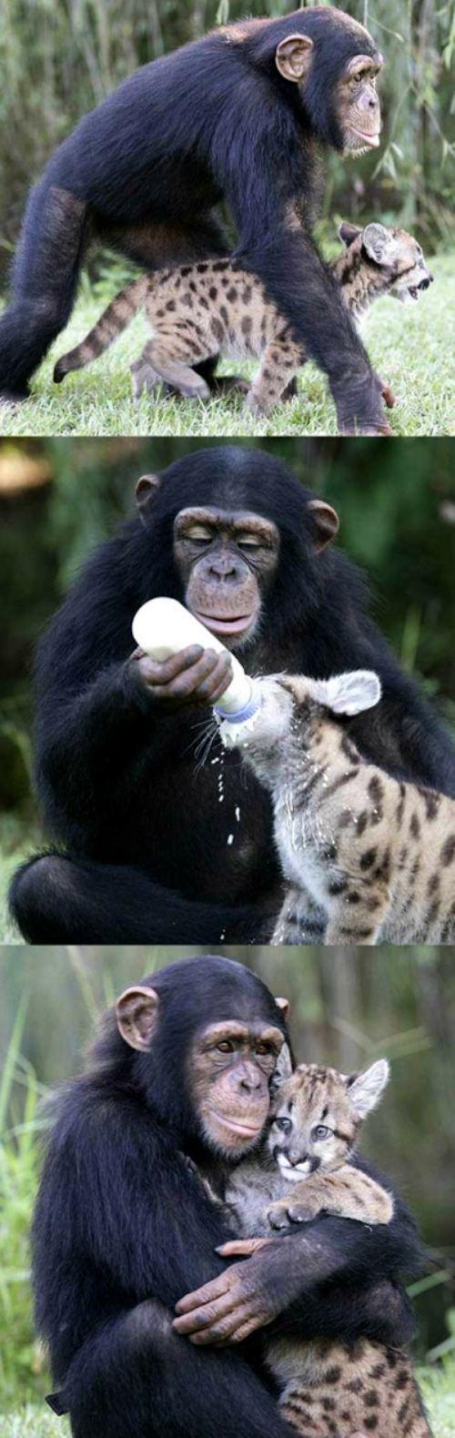 Baby chimp and cheetah. So adorable!!