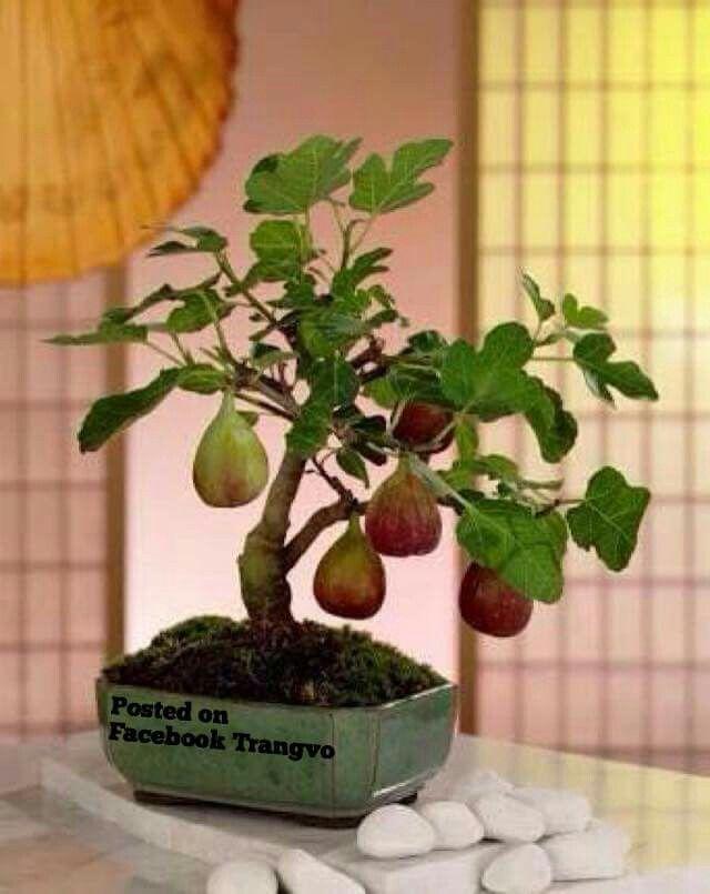 Pin de henry jose caravaca alvarado en bonsai frutales h pinterest - Cultivo de bonsai ...