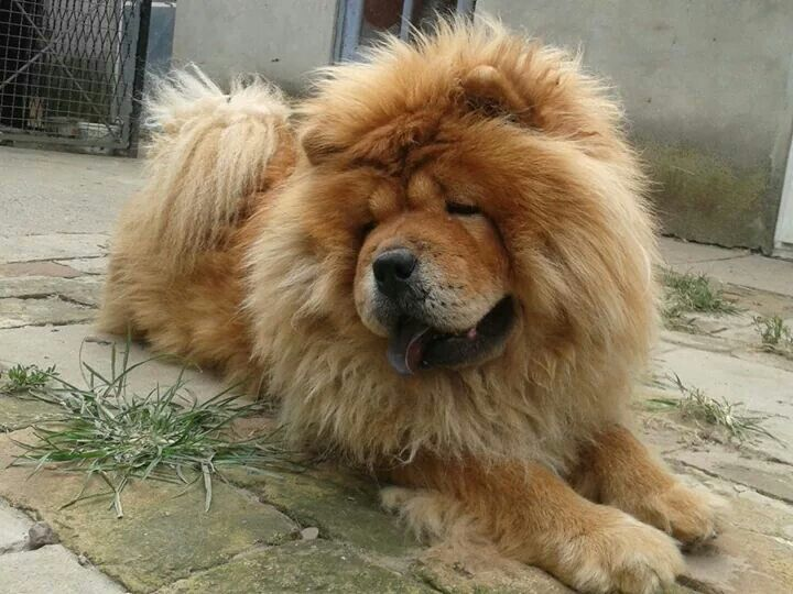 Pin By Flossy Turner On Chow Chow Dogs Puppies Dogs Chow Chow