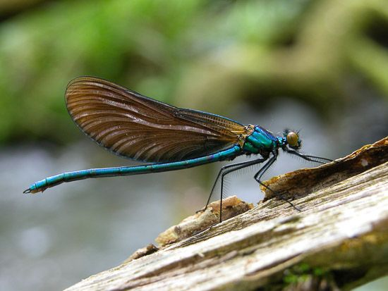Demoiselle (Calopteryx virgo) - Damselfly : Ebford Wood, Somerset, UK. http://www.jeffbevan.co.uk/damselflies/content/images/large/DSCN4244.jpg