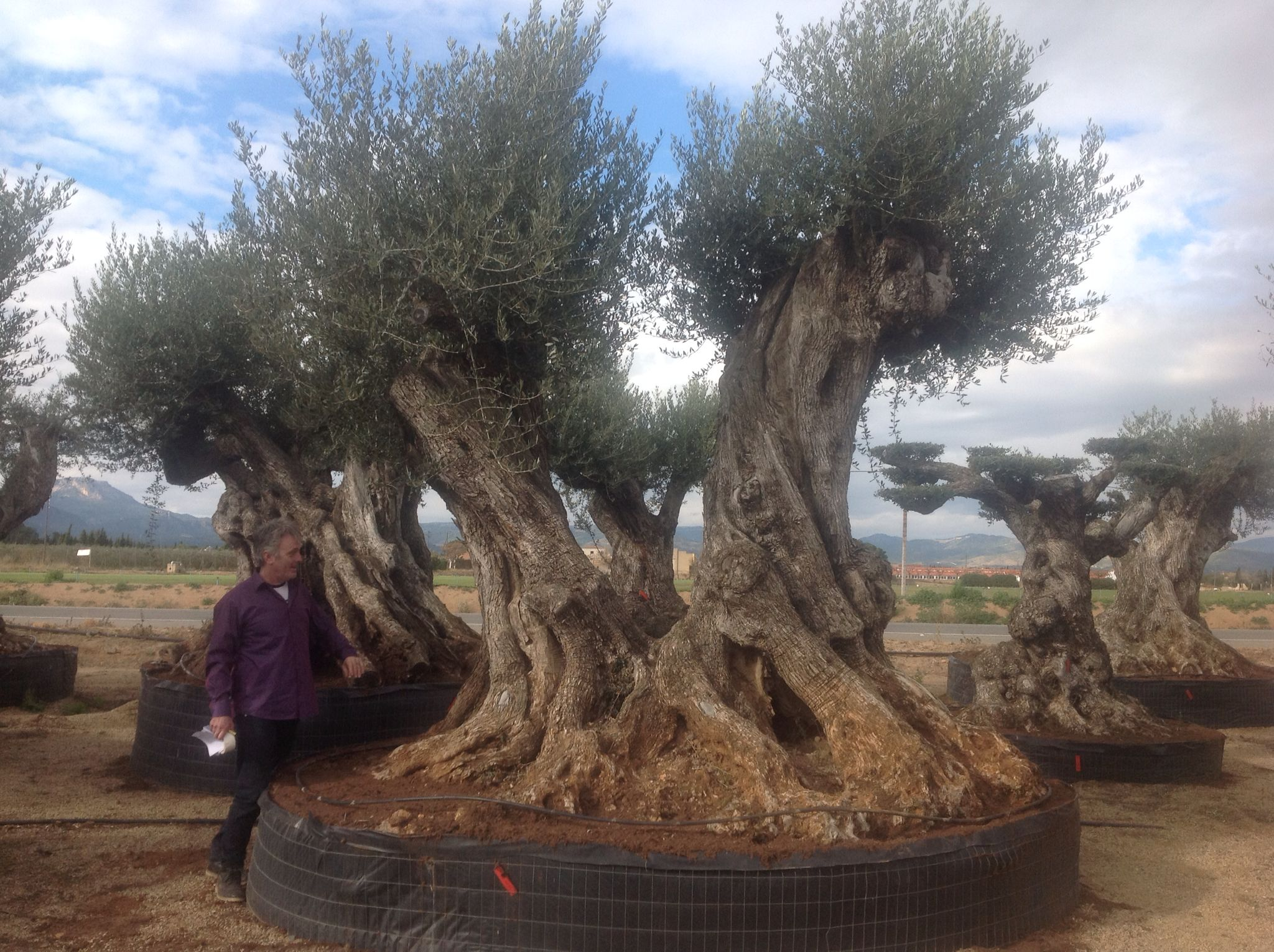 Ancient Gnarled Olive Tree for sale. Available to order