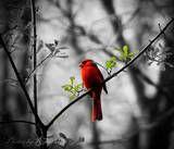 NCarolina State Bird